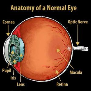 How the eyeball works mersnoforum how the eyeball works ccuart Choice Image